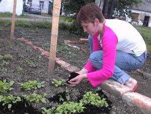 Oksana planting